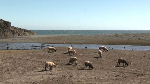 Sheep graze in a pasture near the ocean at Buchupureo, Chile Stock Video Footage