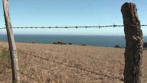 Slow move in cattle grazing in a field near Buchupureo,... Stock Video Footage