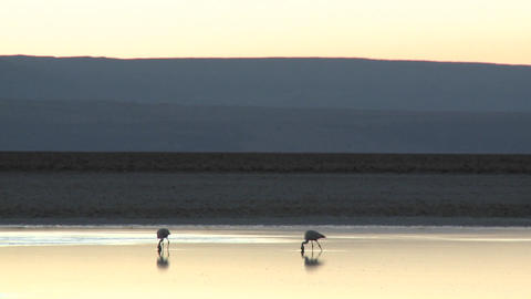 Flamingos feed in the brine of Laguna Chaxa at the Salar de Atacama in the Reserva Nacional Los Flam Footage