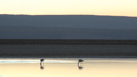 Flamingos feed in the brine of Laguna Chaxa at the Salar... Stock Video Footage