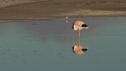 A flamingo reflected in the water of Laguna Chaxa at the Salar de Atacama in the Reserva Nacional Lo Footage
