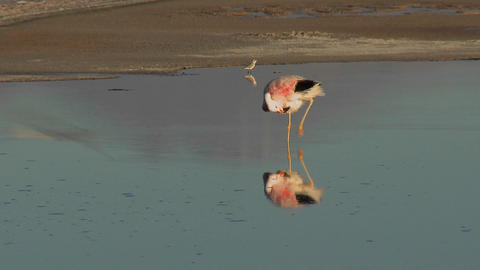 A flamingo reflected in the water of Laguna Chaxa at the... Stock Video Footage