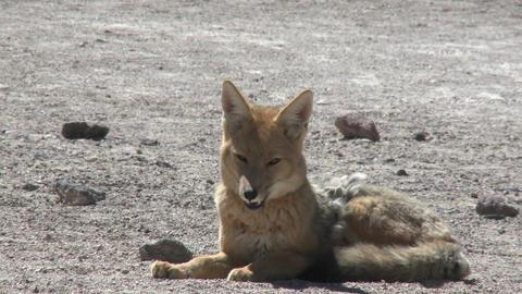 A desert fox in the altiplano high above San Pedro de Atacama, Chile Footage