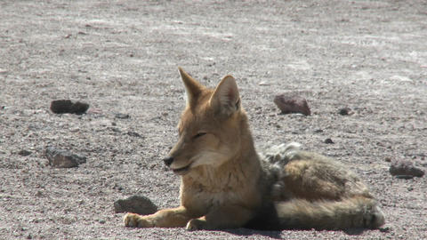 A desert fox in the altiplano high above San Pedro de... Stock Video Footage
