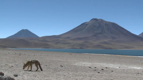A desert fox in the altiplano near Laguna Miniques in the... Stock Video Footage