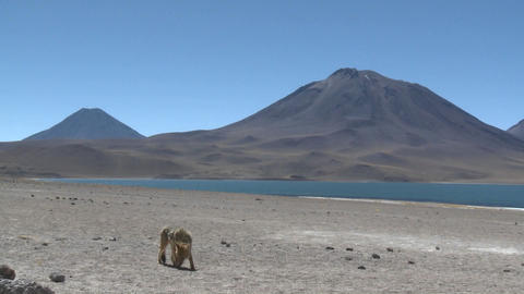 A desert fox in the altiplano near Laguna Miniques in the altiplano high above San Pedro de Atacama Footage