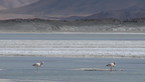 A vertical pan of a flamingo and the Salar de Laco in the altiplano high above San Pedro de Atacama Footage