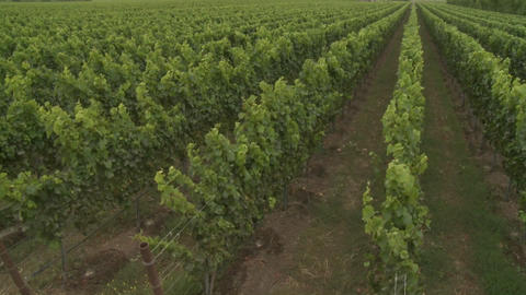 Pan up over a Monterey County vineyard, California Stock Video Footage
