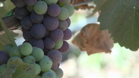 Vertical pan of wine grapes ripening in a Monterey County vineyard, California Footage
