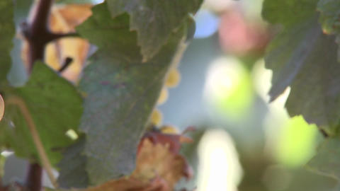 Pan across wine grapes in a Salinas Valley vineyard,... Stock Video Footage
