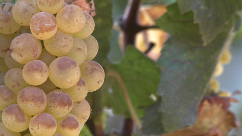 Pan across wine grapes in a Salinas Valley vineyard, Monterey County, California Footage