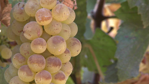 Pan across wine grapes in a Salinas Valley vineyard,... Stock Video Footage