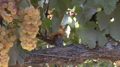 Vertical pan of wine grapes in a Salinas Valley vineyard,... Stock Video Footage