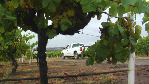 A tractor hauls a bin of grapes during harvest at a Santa... Stock Video Footage