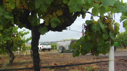 A tractor hauls a bin of grapes during harvest at a Santa Barbara County vineyard, California Footage