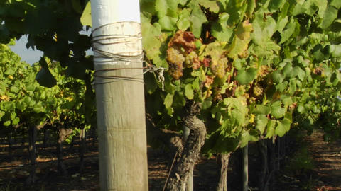 Dolly move across a row of grape vines in a Santa Barbara... Stock Video Footage