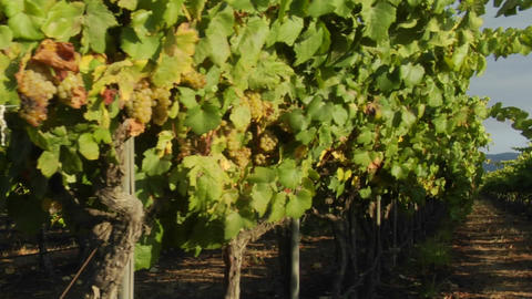 Dolly move across a row of grape vines in a Santa Barbara County vineyard, California Footage