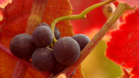 Red wine grapes and fall colors Footage