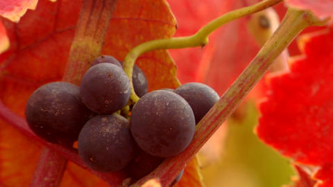 Red wine grapes and fall colors Stock Video Footage