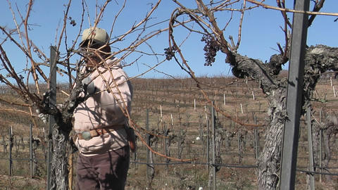 A field worker prunes dormant vines in a California vineyard Stock Video Footage