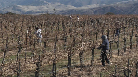 Field workers prune dormant vines in a California vineyard Stock Video Footage