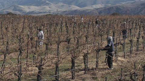 Field workers prune dormant vines in a California vineyard Stock Video Footage