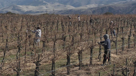 Field workers prune dormant vines in a California vineyard Footage