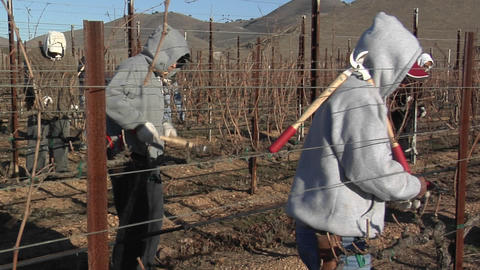 Field workers break for lunch while pruning dormant vines in a California vineyard Footage