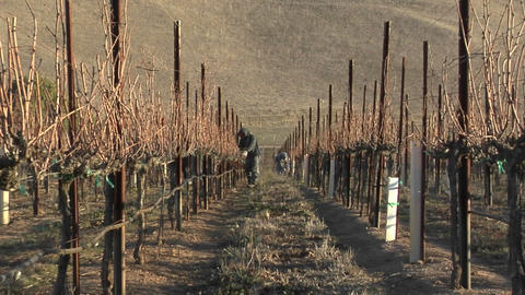A move in on a field worker pruning dormant grape vines in a California vineyard Footage