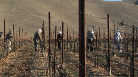 Pan across field workers pruning dormant grape vines in a California vineyard Footage