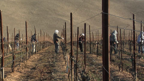 Pan across field workers pruning dormant grape vines in a... Stock Video Footage