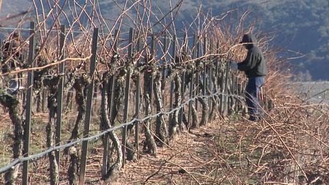 Pan across field workers pruning dormant grape vines in a... Stock Video Footage