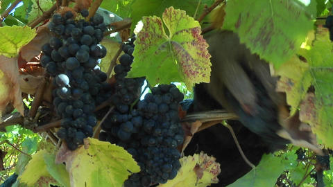 Handpicking wine grapes during harvest Stock Video Footage