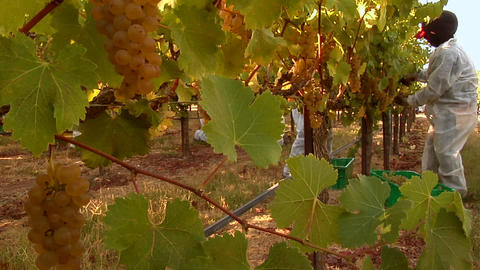 Harvesting grapes at a Santa Barbara County vineyard,... Stock Video Footage