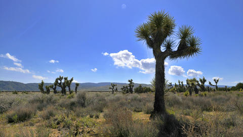 Time lapse of some clouds blowing with Joshua trees in the foreground Footage