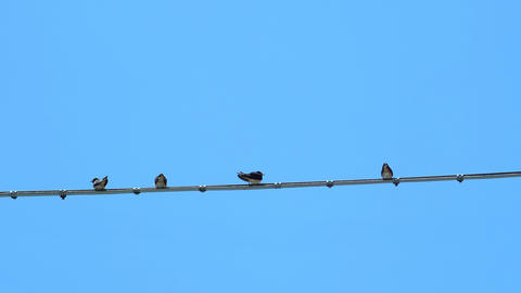 Summer swallows flock resting on electric power line cable over bright blue sky Live Action