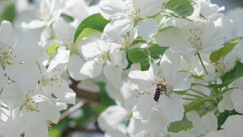 Bee flying near white flowers at blossoming tree at springtime Live Action