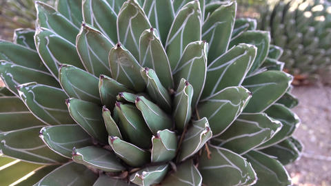 Big agave with white stripes on the leaves. Arizona Phoenix Botanical Garden Live Action