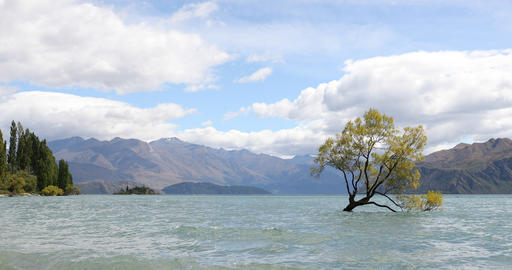 Wanaka New Zealand lone tree of Lake Wanaka famous tourist attraction Live Action