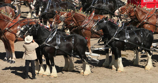 Draft horses team and wagon close DCI 4K 626 Footage