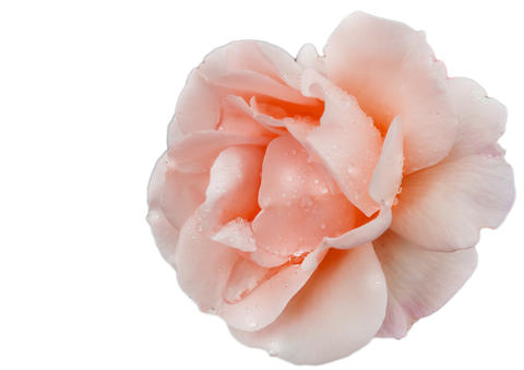 Close up of a single flower of a delicate pink rose on a white background isolated by clipping