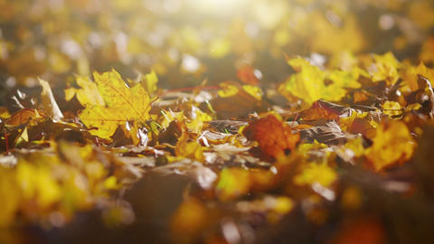 Autumn Leaves in Evening Rays Live Action
