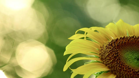 Yellow Sunflower Close Up With Copy Space And Glistening Sunlight Live Action