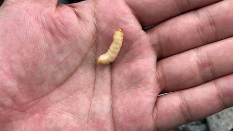 4K video of caterpillar which was placed of my hand Footage