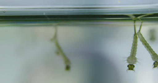 Extreme close up of mosquito larvae in water Stock Video Footage
