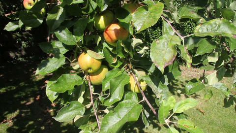Apples in an orchard Live Action