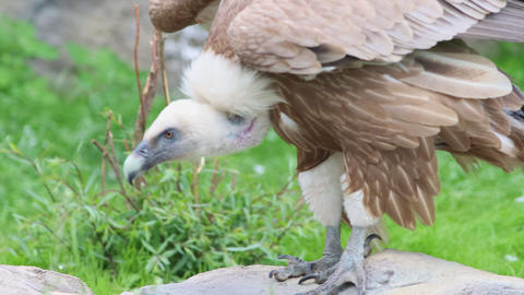 Brown vulture in the nature reserve - jumping from stone to another stone Live Action