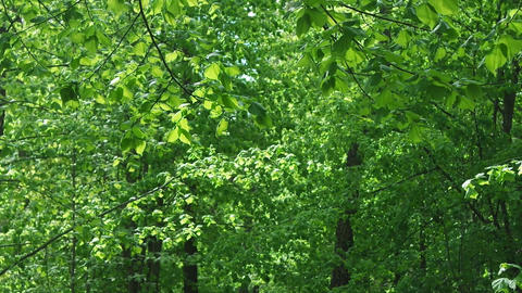 Green leaves on a wind in sunlight, with voices of birds. Wind in beautiful Live Action