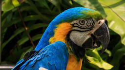 closeup blue-gold Macaw parrot turns head Footage