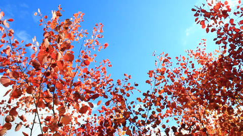 red and yellow leaves of aspens in the autumn Footage